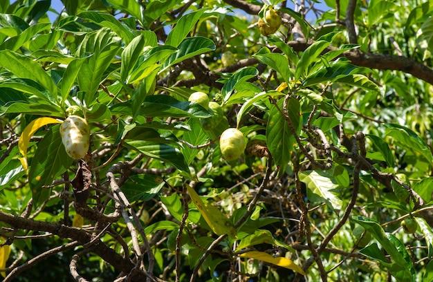 Mengkudu, fruta noni, às vezes chamada de fruta da fome