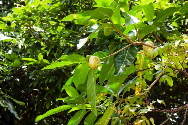 Mengkudu, fruta noni (morinda citrifolia), às vezes chamada de fruta da fome