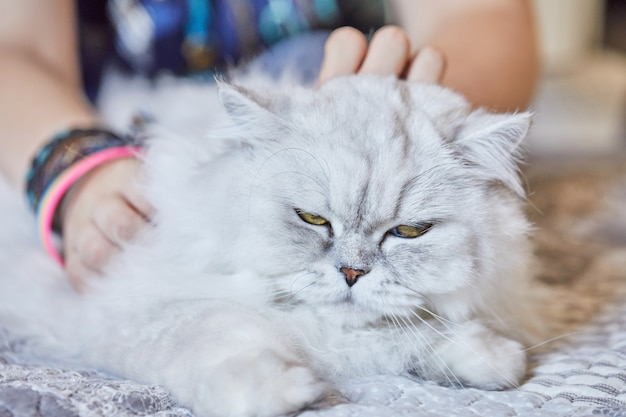 Menina acariciando o gato branco de pêlo comprido britânico em casa