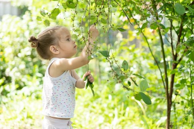 Menina caucasiana, dois anos de idade, recolhendo cerejas verdes no pomar