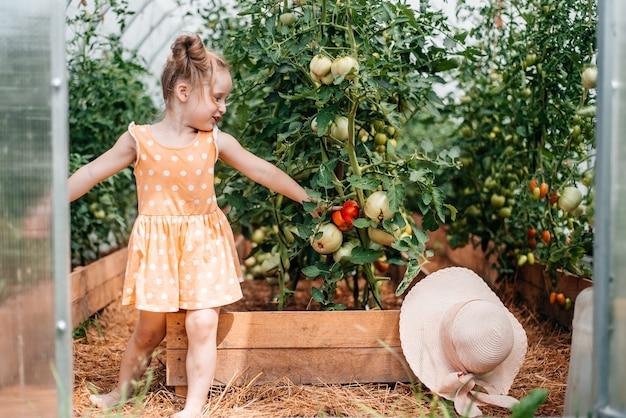 Menina colhe no outono, verão ensolarado e quente, tomates em uma estufa