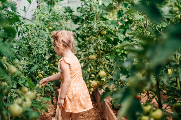 Menina colhe no outono, verão quente e ensolarado, tomates em uma estufa. dia ensolarado. vista de trás
