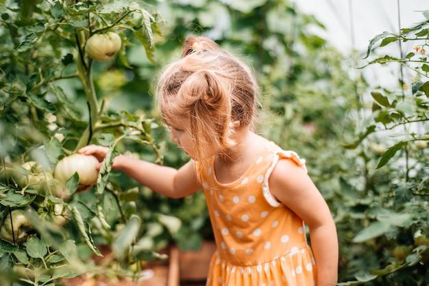 Menina colhe no outono, verão quente e ensolarado, tomates em uma estufa. dia ensolarado.
