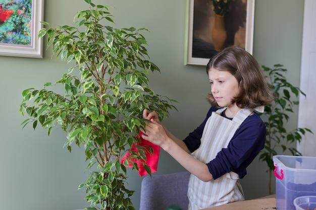 Menina cuidando da planta de casa, criança limpa a poeira das folhas de ficus. cuidado, hobby, planta da casa, amigos em vasos, conceito de crianças
