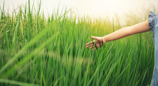 Menina de crianças toca e verifica a panícula de arroz em seu campo de arroz.