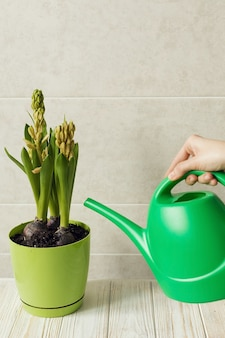 Menina molhando jacinto planta de casa, conceito de primavera verde fresco