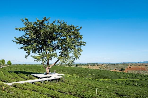 Menina sob grande árvore no campo de chá