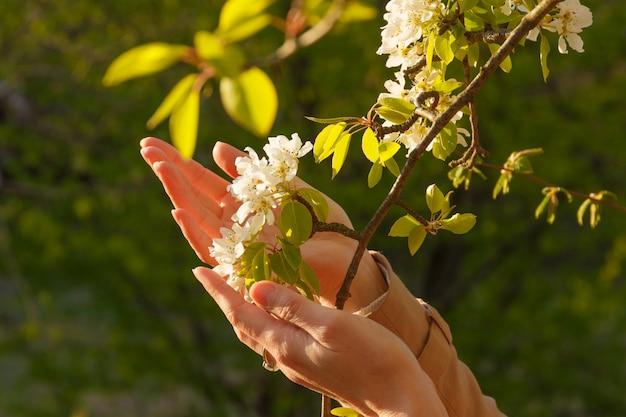 Menina toca flor ramo branco com a mão. árvore de cerejeira.
