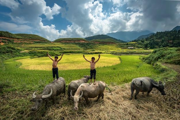 Menino agricultor de pé e brincando na parte de trás de um búfalo enquanto eles estão criando búfalo nos campos de arroz em mu cang chai, yenbai, vietnã