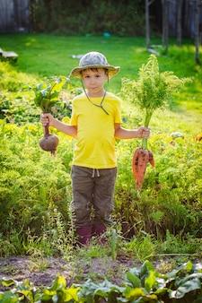 Menino bonitinho segurando um monte de cenouras e beterrabas orgânicas frescas no jardim doméstico