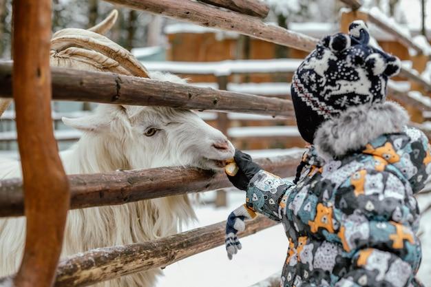 Menino bonito caucasiano alimentando uma cabra com um animal maçã atrás da barreira no zoológico