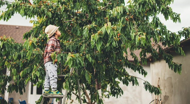 Menino bonito, caucasiano, pegando cerejas da árvore, usando um chapéu e usando uma escada