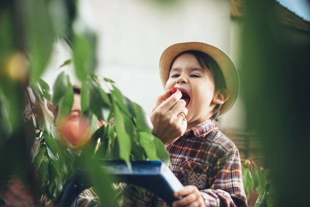Menino caucasiano com chapéu colhendo cerejas da árvore e passando o tempo entre as folhas verdes