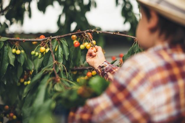Menino caucasiano com um chapéu comendo cerejas da árvore que seus pais seguram