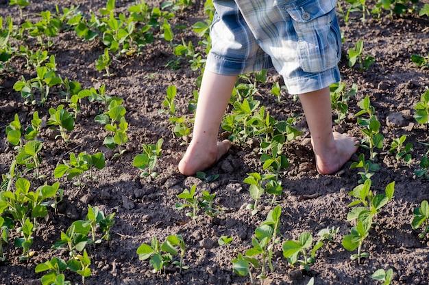 Menino com os pés descalços está andando em crescimento no campo cultivado com brotos de soja