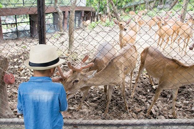 Menino da criança que olha e que alimenta cervos no jardim zoológico.
