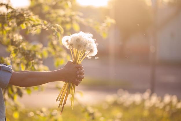 Menino, segurando, em, mãos, buquê, de, dandelions, ligado, verão, pôr do sol