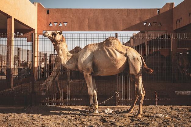 Mercado de camelos em al ain