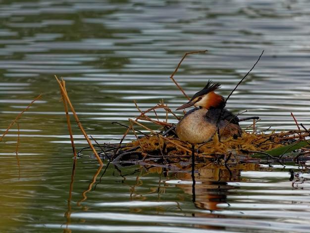 Mergulhão-de-crista (podiceps cristatus) no lago durante o dia