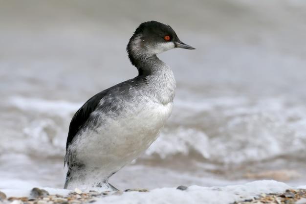 Mergulhão de pescoço preto com plumagem de inverno fica à beira-mar em espuma branca