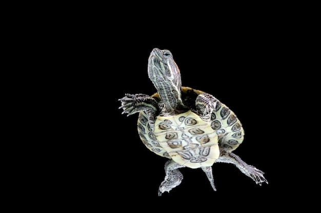 Mergulho brasileiro de tartaruga