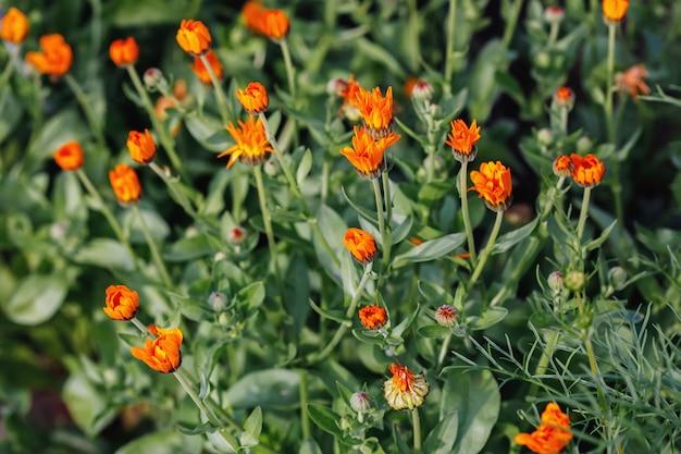 Mesa de verão com crescente calêndula de flores