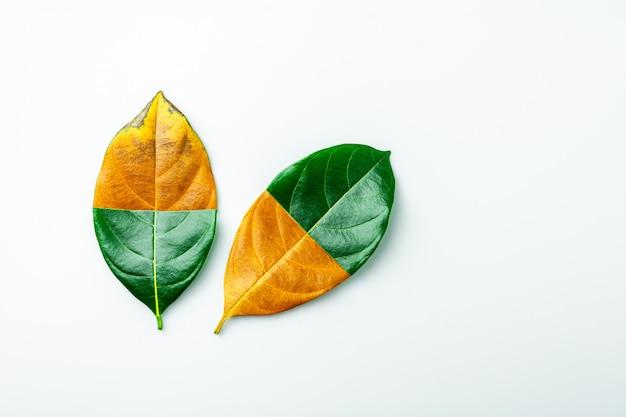 Metade do verde e marrom secam as folhas no fundo branco.