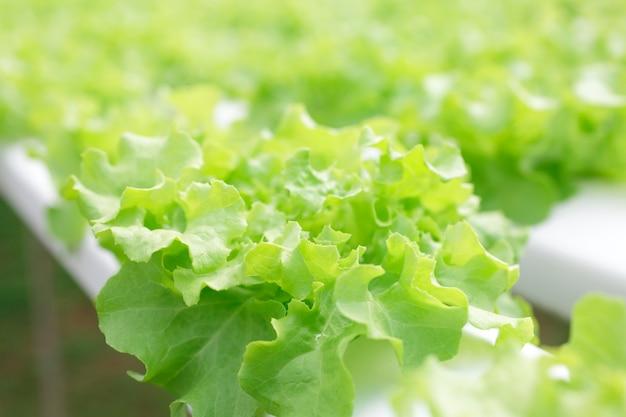 Método hidropônico de cultivo de plantas utilizando soluções de nutrientes minerais, em água, sem solo. plantação de mão fazenda de plantas de hidroponia