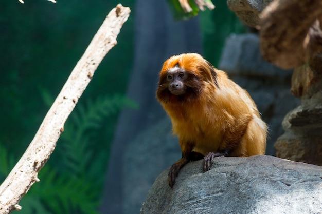 Mico-leão dourado fofo sentado em uma rocha