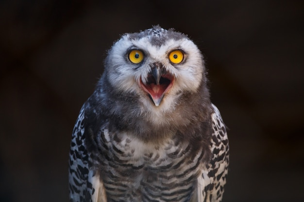Micrathene whitneyi, a coruja coruja ou coruja anã com a boca aberta enquanto grita.
