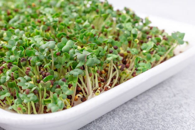 Micro closeup de verdes frescos. a mostarda de microgreen brota na placa. microgreens crescendo. conceito de alimentação saudável.