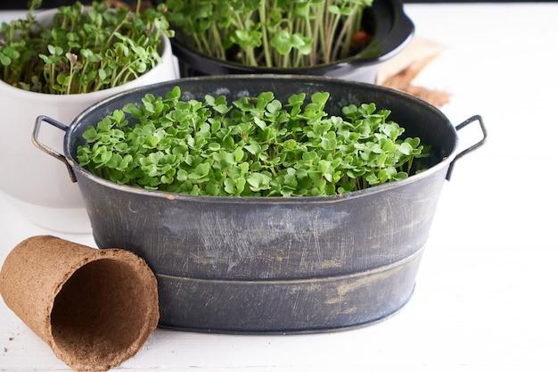 Micro greens germinados em vasos