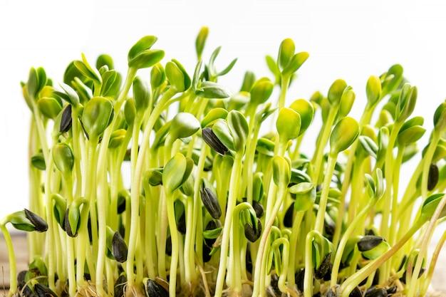Micro greens. sementes de girassol germinadas, close-up.