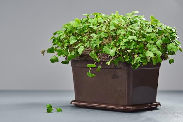 Micro verde jovem em uma caixa de plástico
