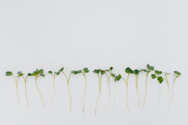 Micro-verdes brotos close-up em um branco