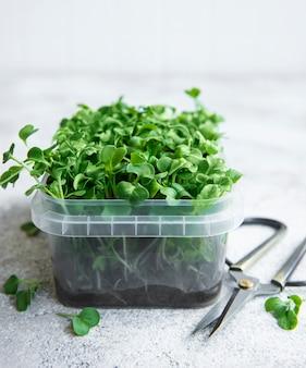 Micro verdes. sementes de rabanete brotadas. microgreens germinando. germinação de sementes em casa. conceito de alimentação vegana e saudável.
