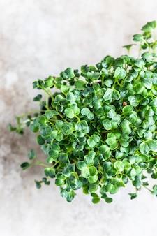 Microgreen brotos de rabanete daikon em uma bandeja preta conceito de comida vegana crescendo em casa
