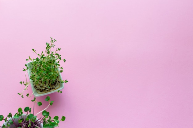 Microgreen kress, rabanete rosa brota em rosa, plana leiga, vista superior, copyspace