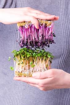 Microgreens de rabanete roxo e verde em mãos femininas