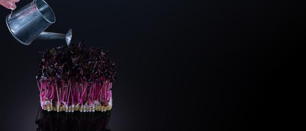 Microgreens de rabanete roxo em um fundo preto com lugar para texto. regue microgreens de um regador