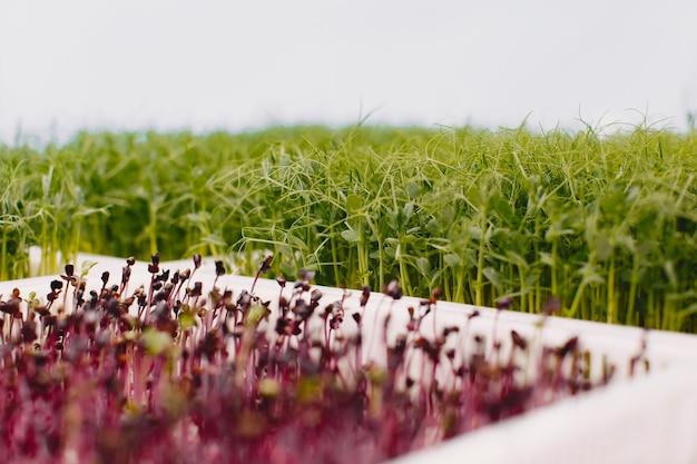 Microgreens em crescimento no fundo da mesa. conceito de alimentação saudável. produtos de jardim frescos cultivados organicamente como um símbolo de saúde. close up de microgreens.