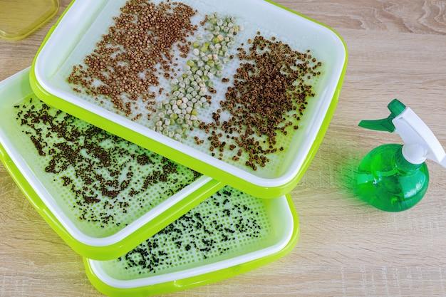 Microgreens em crescimento. o processo de plantio de sementes em bandejas de microgreening. germinação de sementes.