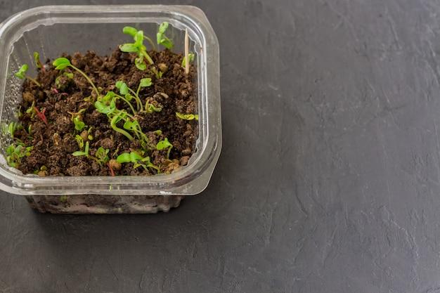 Microgreens em recipiente plástico. comida macrobiótica saudável em casa. copie o espaço para texto