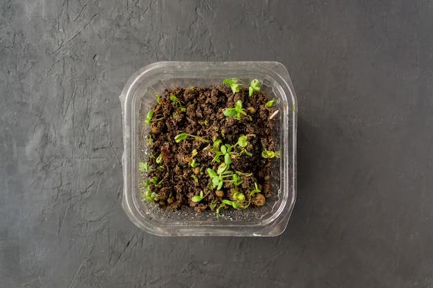 Microgreens em recipiente plástico. comida macrobiótica saudável em casa.