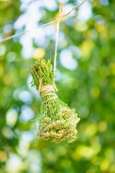 Milefólio achillea millefolium seco em uma corda