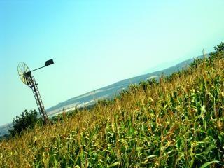 Milharal e moinho de vento