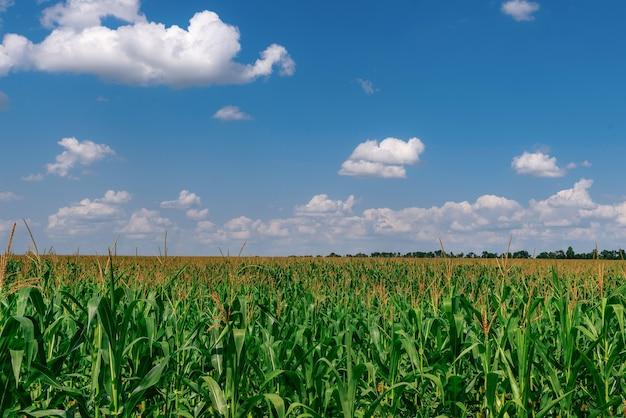 Milharal pronto para ser colhido close de um milharal verde com milho na ucrânia em julho
