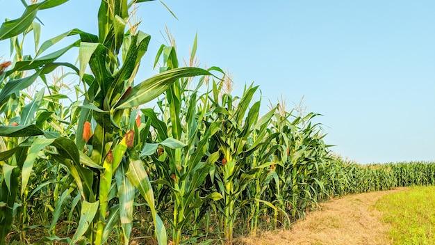 Milho agrícola em dia de sol