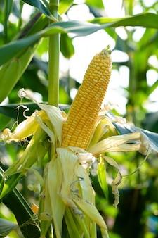 Milho amarelo em folhas verdes em um campo de fazenda