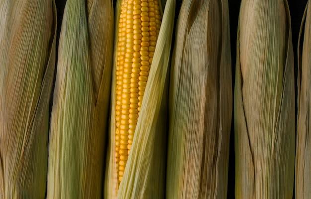 Milho amarelo fresco sob o sol, nova colheita de vegetais